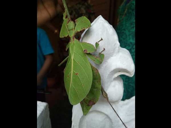 leaf-insect